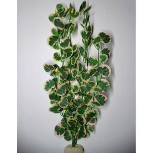 Hydrocotyle Leucocephala XL...